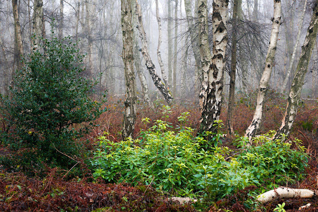 Mist filled woodland in the Cambridgeshire Fens at Holme Fen