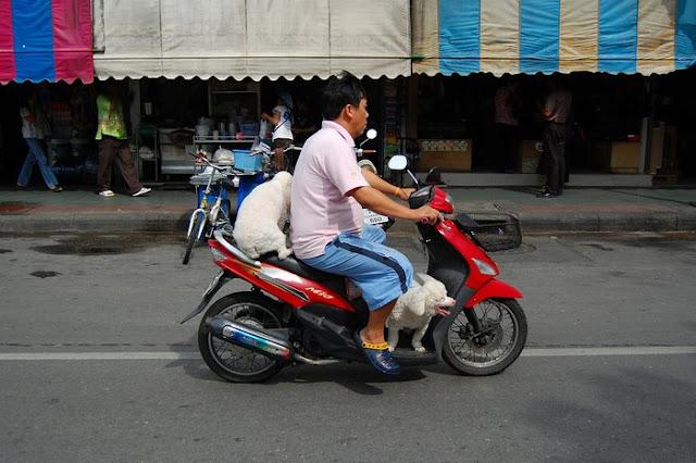 Две тайские собаки на одном скутере