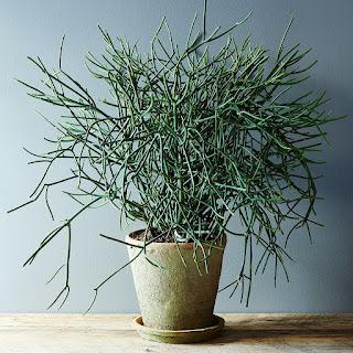 Euphorbia tirucalli (aka Pencil Cactus) in a green pot on a wooden table.