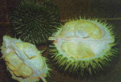 Durian kerantongan