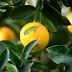 هل الليمون يقي من السرطان