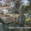 All About Aquarium Fish: Schooling Pajama Cardinal Fish