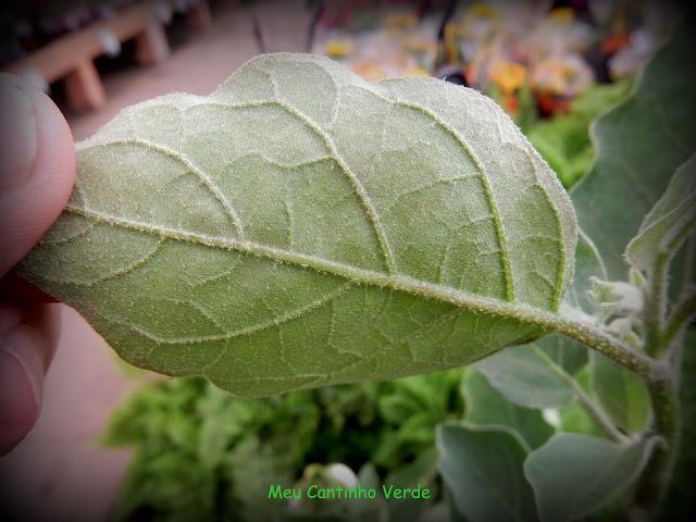 leaf PLANTA-OVO - ( Solanum ovigerum )