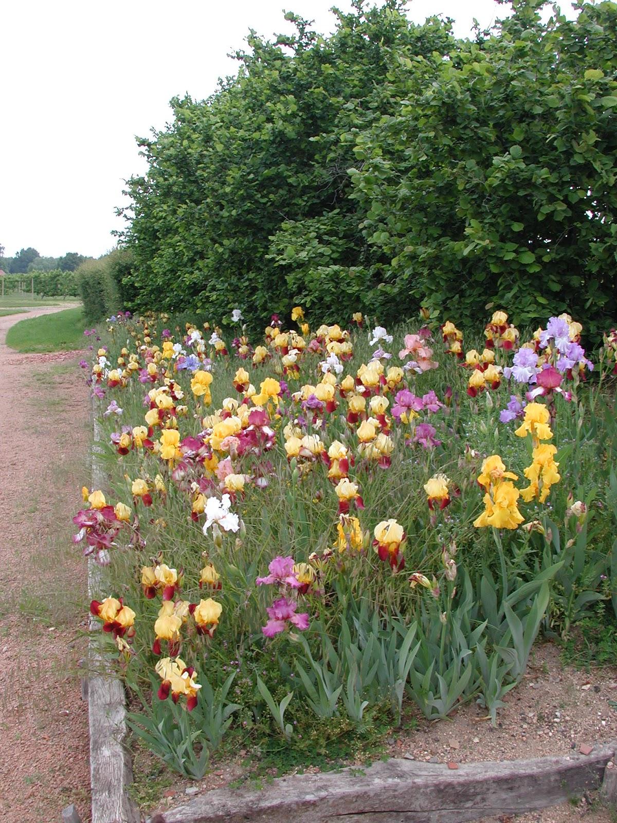 iris de belles plantes vivaces pour colorer votre jardin les carnets de georges delbard. Black Bedroom Furniture Sets. Home Design Ideas
