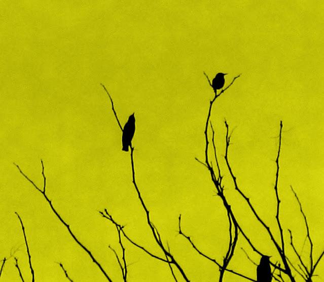 Birds in tree. Jefferson City, Missouri. December 2006.