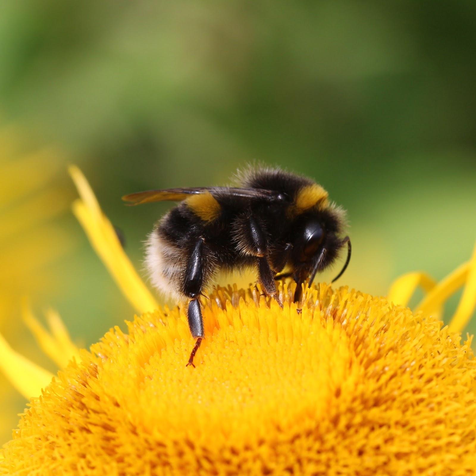 trogtrogblog bumblebee pollen collection