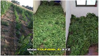 ( بالفيديو )منزل بوزلفة: الكشف عن ضيعة مزروعة ماريخوانا...