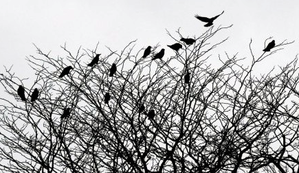 gagak-burung-pembawa-kematian