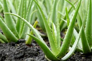 detikhealth - Aloe vera