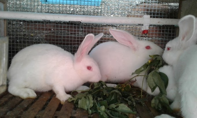 Cara mudah ternak kelinci pedaging, Terbukti berpenghasilan besar