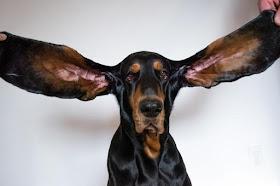 Oregon dog's 12-inch ears earn Guinness World Record