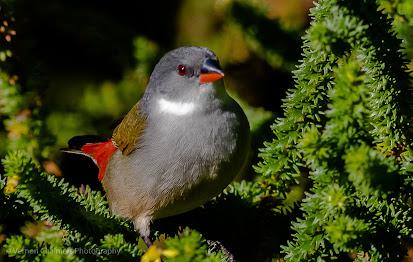 Swee Waxbill Bird in Bush Kirstenbosch Photographer Vernon Chalmers