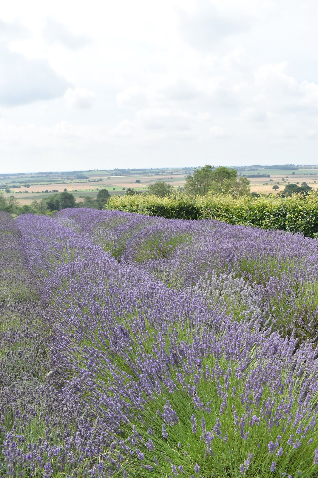 Where to Find Lavender Fields - A Trip to Yorkshire Lavender
