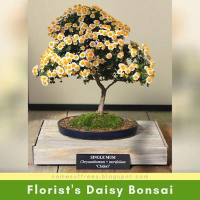 Florist's Daisy Bonsai