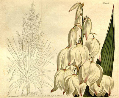 Yucca gloriosa -botanical illustration