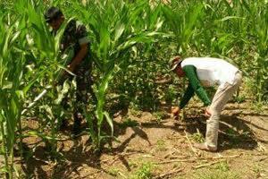 Babinsa Koptu Zulkarnaen Hutapea Bersama Petani Merawat Tanaman Jagung di Desa Gonting Malaha
