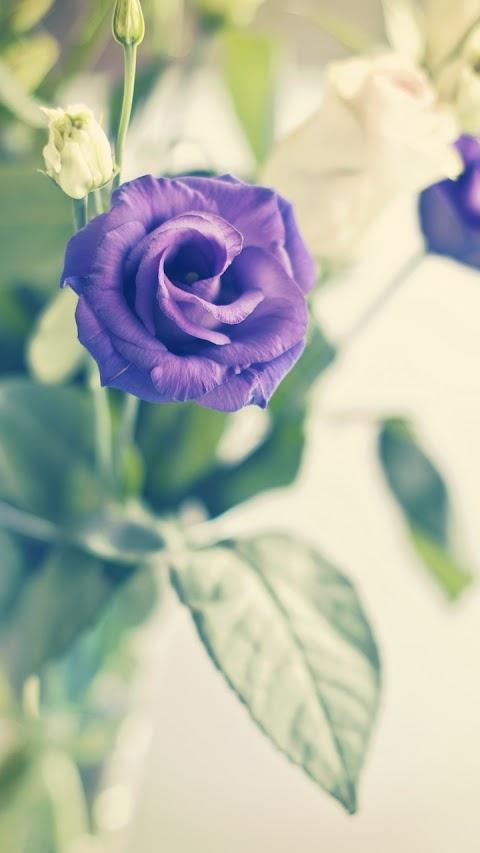 Nụ hồng xanh