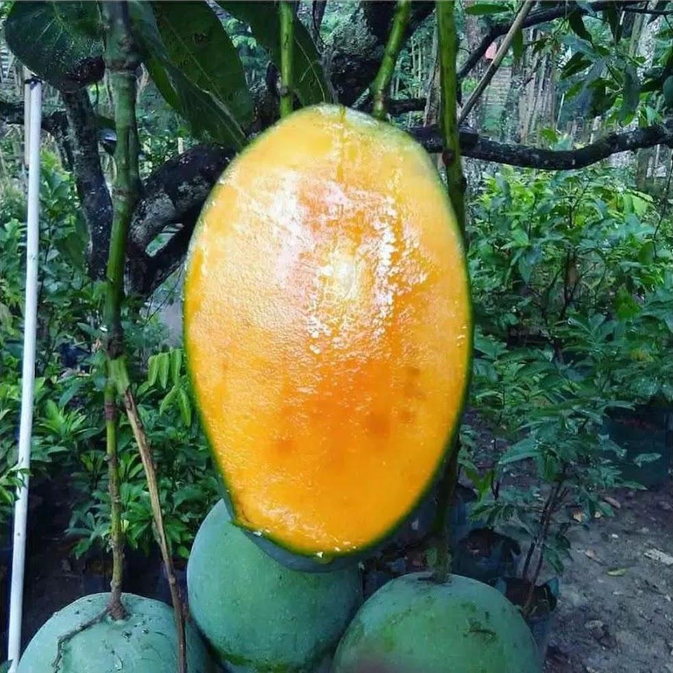 Bibit Tanaman Buah Mangga Manalagi Super Sumatra Barat