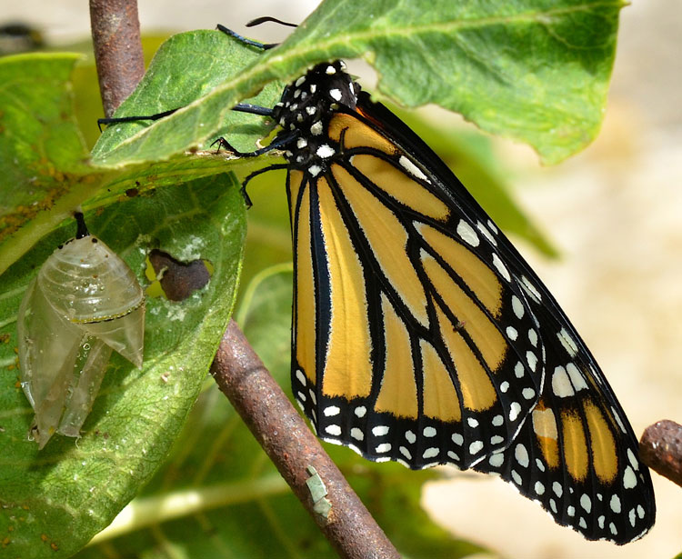 In this photo you can see the chrysalis on the left side and the butterfly on the right.