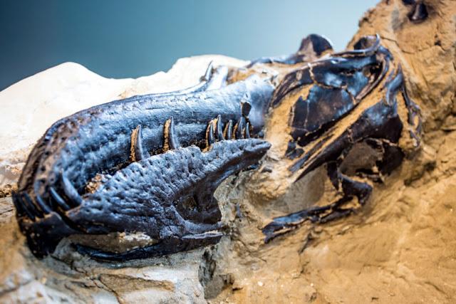 Kerangka T-Rex Lengkap Pertama di Dunia Akhirnya Diungkap Kepada Publik 67 Juta Tahun Setelah Dikuburkan