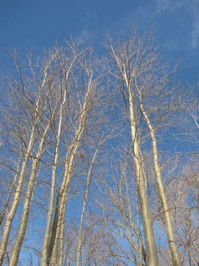 bare aspen trees