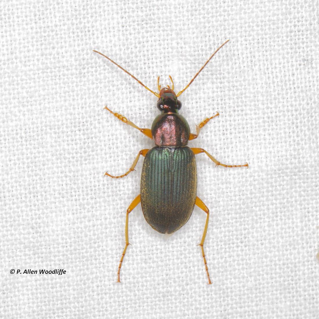 asian-longhorned-beetle-map-winters-charlotte