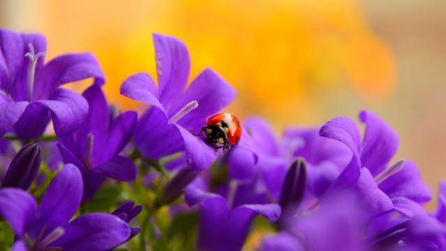 fiori, coccinella, natura, animali,
