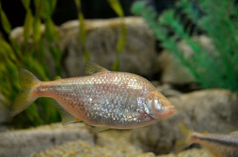 Gambra Ikan Mata Buta