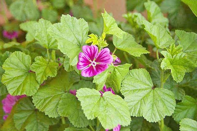Mallow flower and leaves