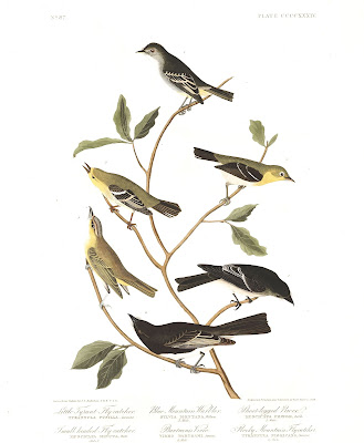 Plate 434, depicting the Small-Headed Flycatcher (second from top, right), Blue Mountain Warbler (second from top, left), and Bartram's Vireo (second from bottom, left). Illustration: John James Audubon.