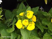 Pocketbook flower, flower show - Kyoto Botanical Gardens, Japan