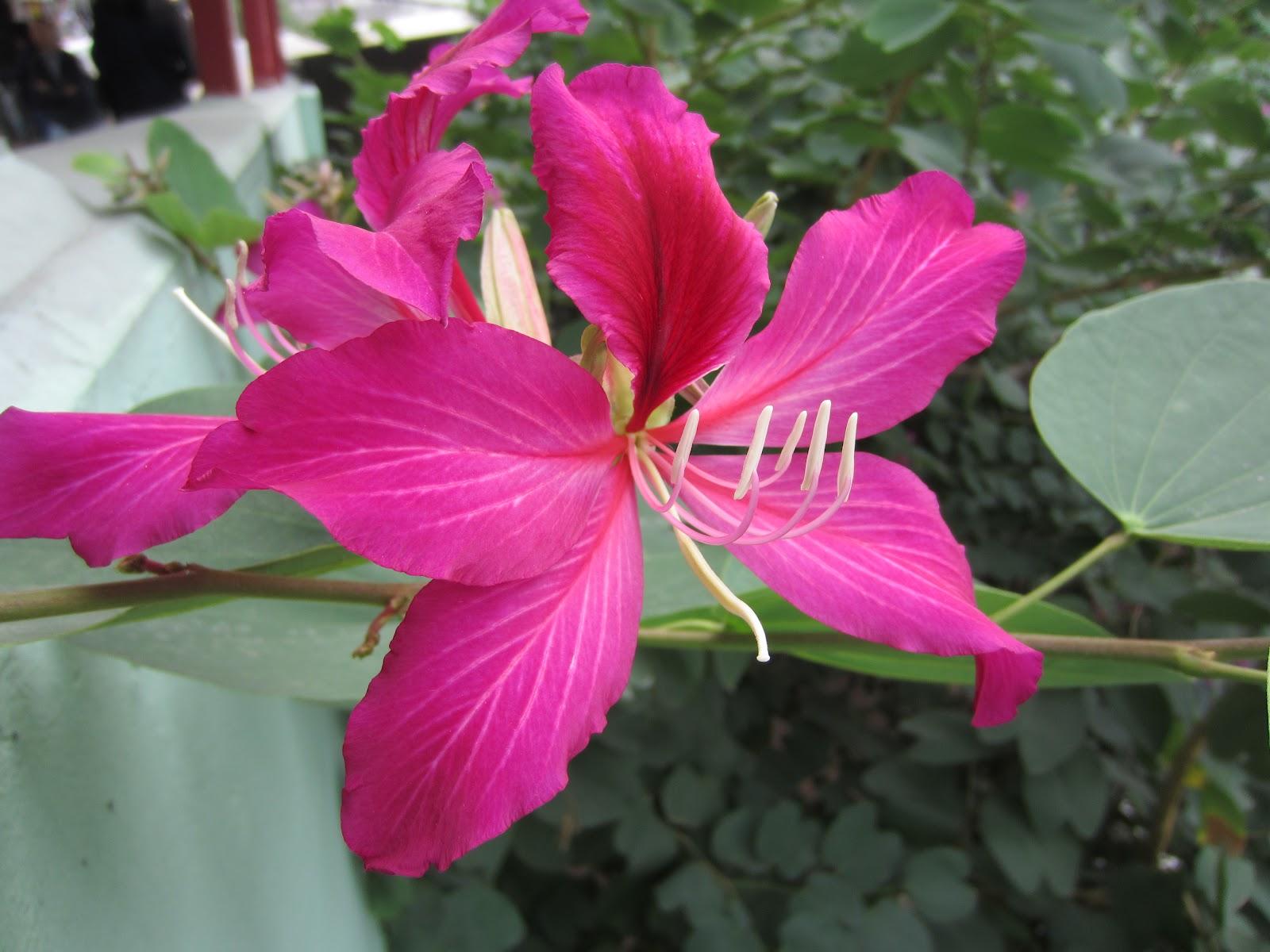 外國月亮: 洋紫荊:香港市花