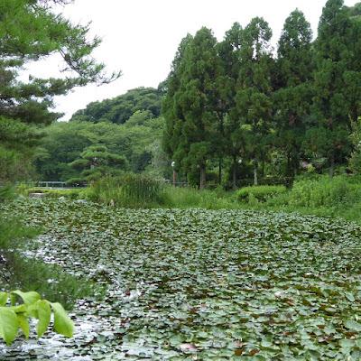 花博記念公園鶴見緑地 日本庭園のスイレン