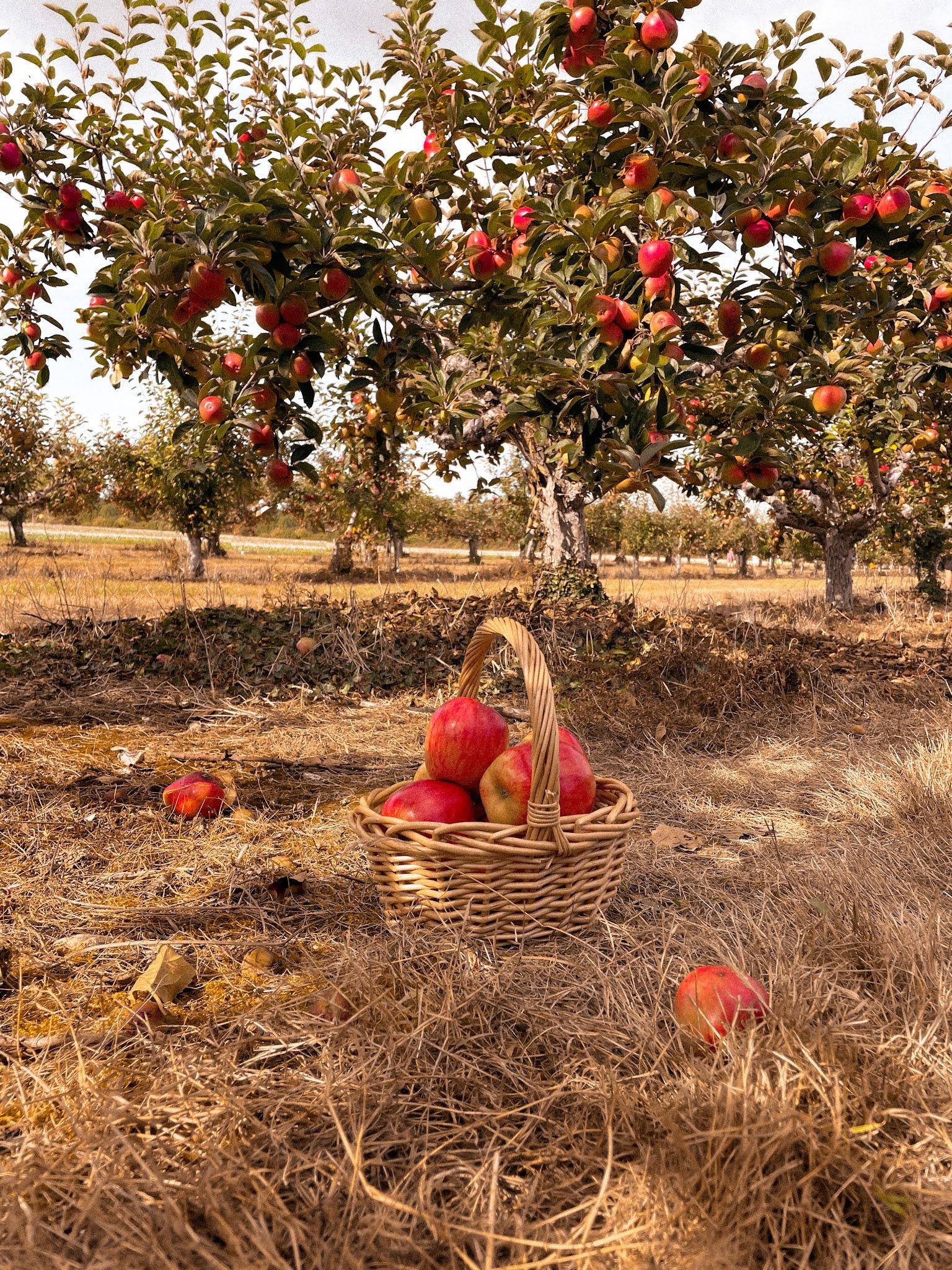 Autumn Apple Picking Orchard