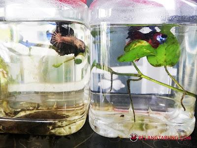 Induk Ikan Betta Matang