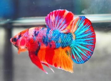 Cara Menilai Ikan Cupang Bagus Atau Jelek Cupang Sehat