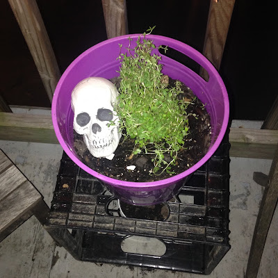 Potted Thyme in Herbal Container Garden with a cute little skull knick knack