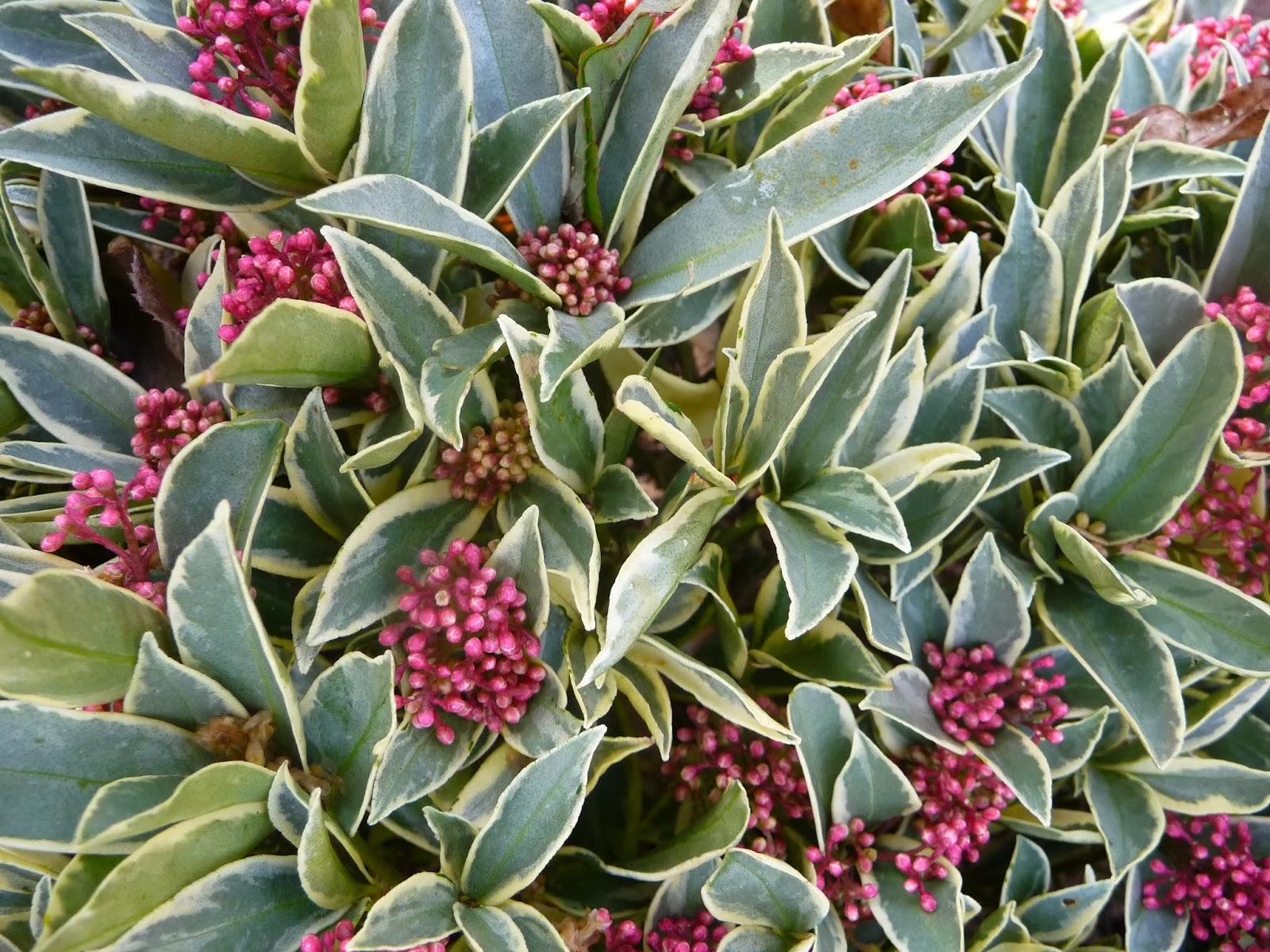 Ma terre de bruy re les feuillages panach s vert blanc ou vert cr me du jardin - Quand tailler saule crevette ...