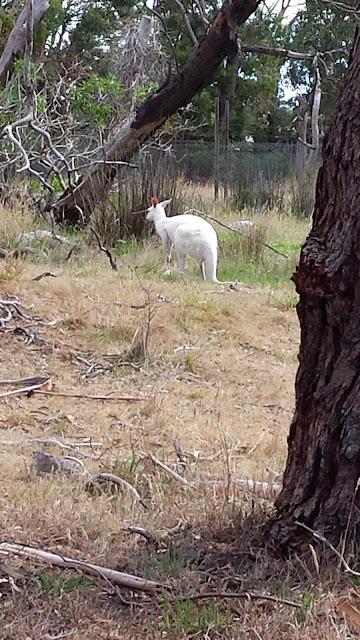 Portland Fauna Park White Kangaroo