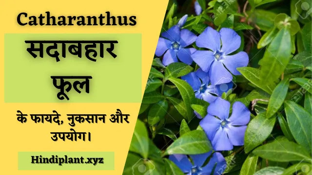 सदाबहार फूल के अनगिनत फायदे, नुकसान और उपयोग।