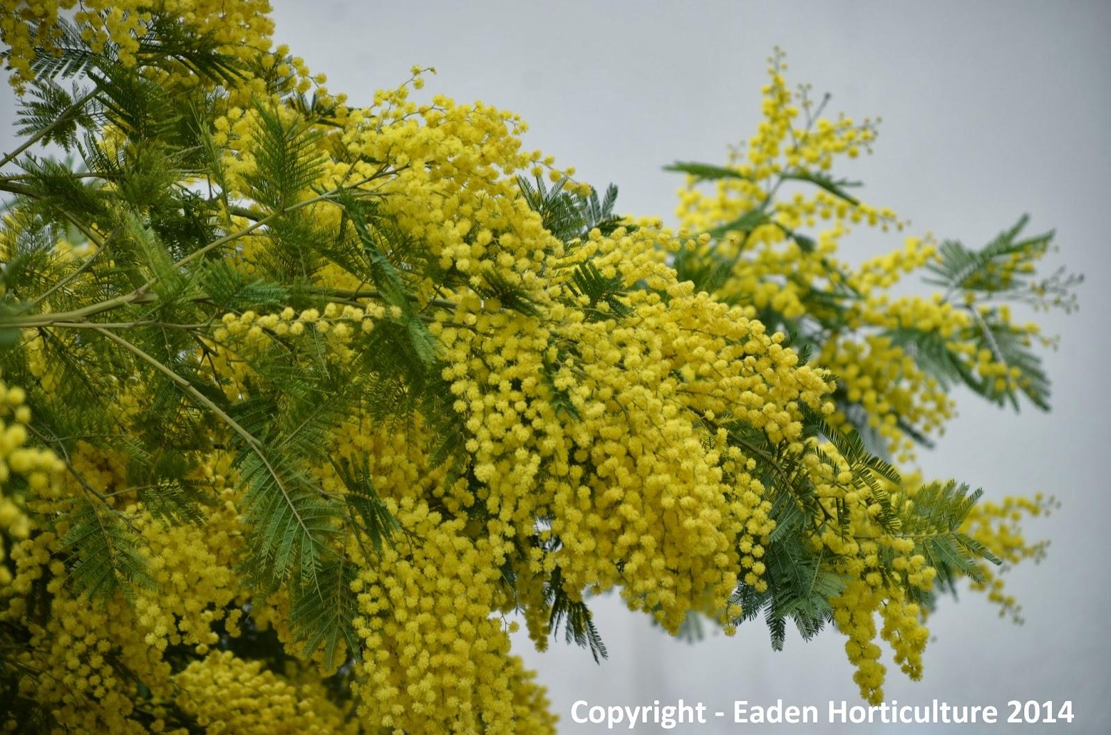 The mimosa tree acacia dealbata the garden of eaden for Trees garden of jane delawney blogspot