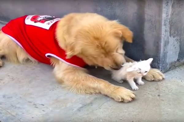 Golden Retriever Locates Stray Kitty As Well As Brings Her Residence