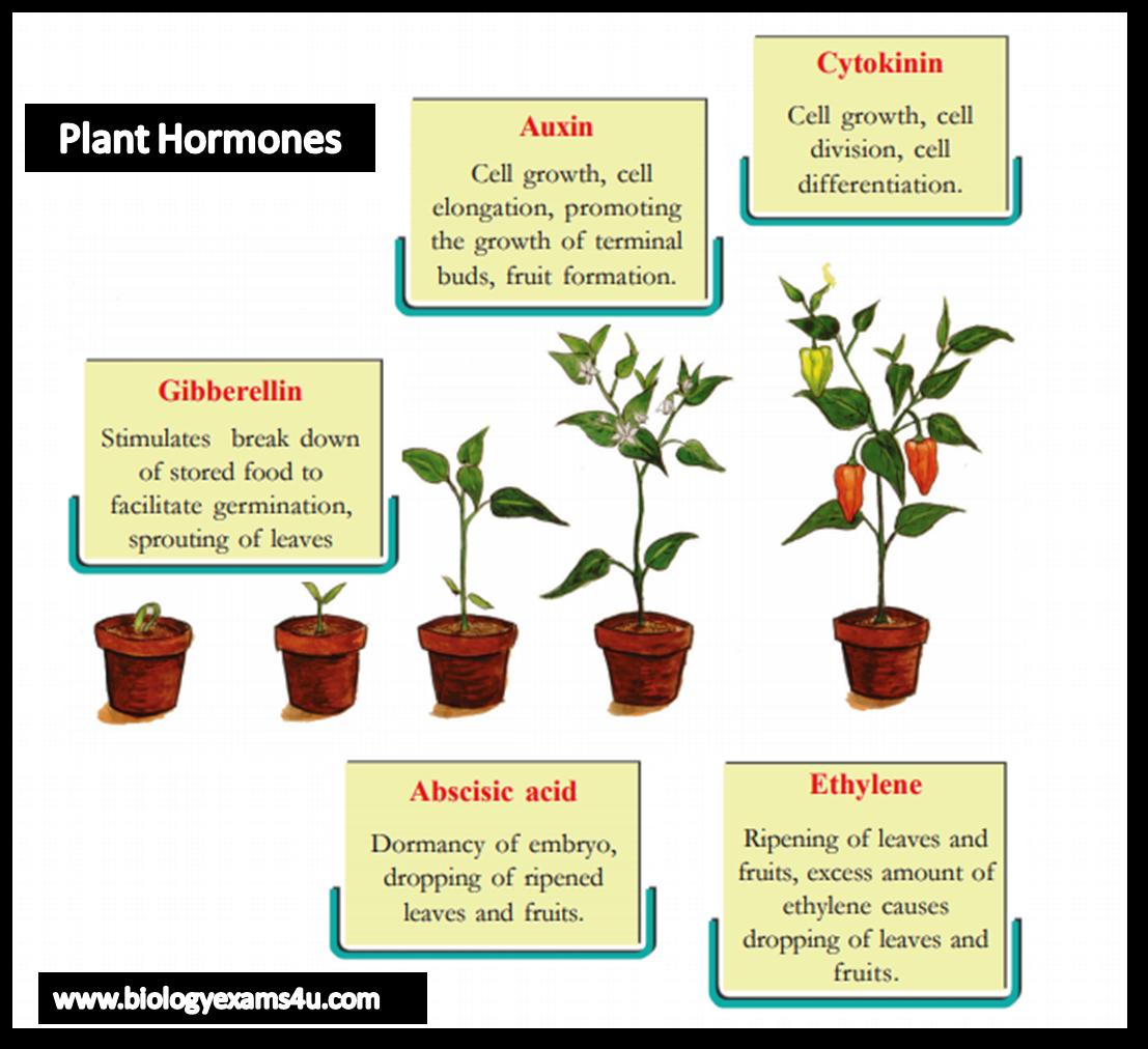 Plant Hormones (Phytohormones)