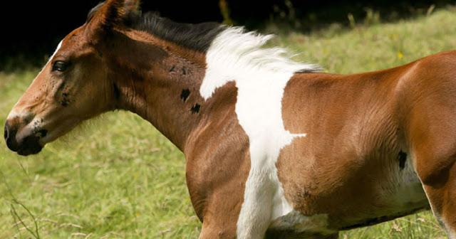 Άλογο γεννήθηκε με σχήμα αλόγου στην πλάτη και είναι πανέμορφο