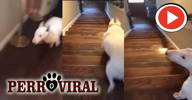 American Bully muestra su particular forma de saltar las escaleras