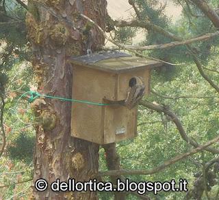 torcicollo jynx torquilla birdwatching rose orto erbe aromatiche ed officinali alla fattoria didattica dell ortica a savigno valsamoggia bologna vicino Zocca in appennino