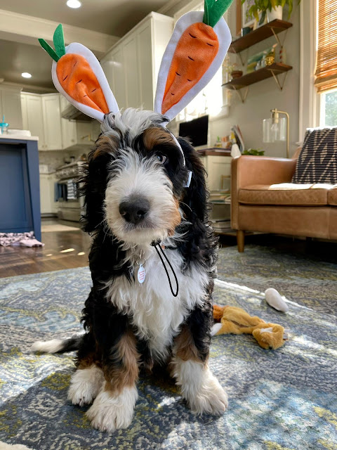 bernedoodles puppy wearing bunny/carrot ear headband