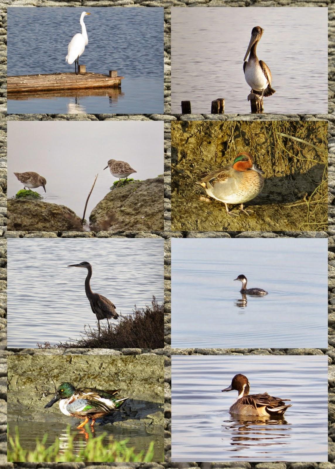Birds of Bay Marsh Trail