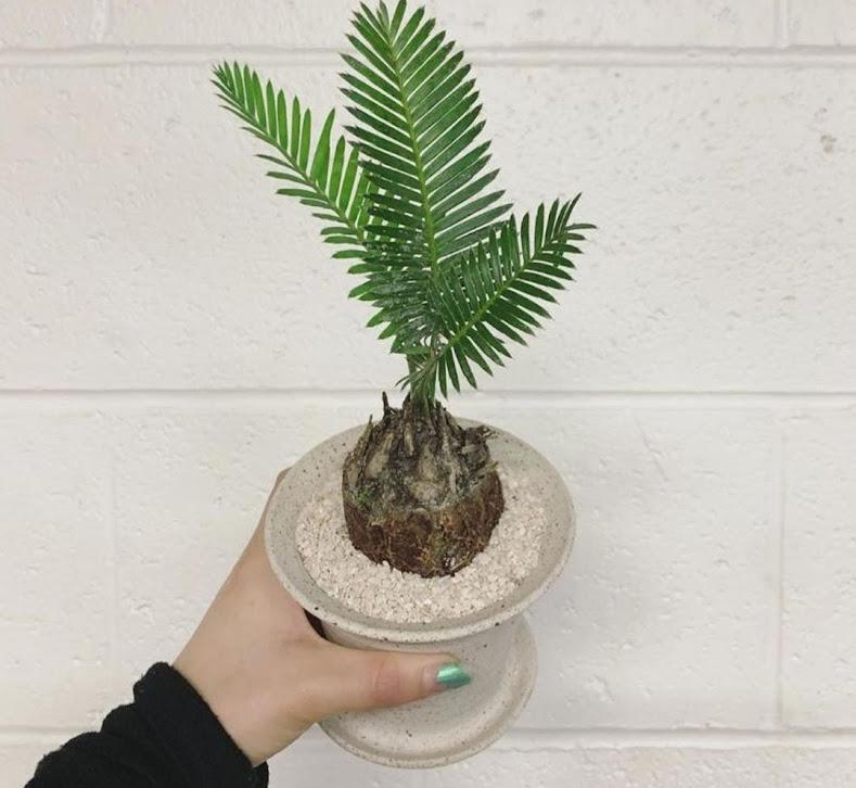 Palem sikas tanaman hias palem sikas palem pohon palem sikas pohon palem Solok