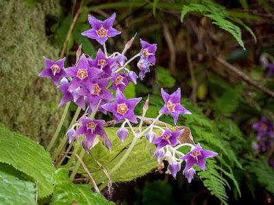 Iwatabako (Conandron ramondioides) flowers: Kita-kamakura